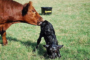 Cow with newborn_122315.png