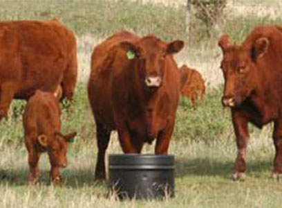 Grazing-Red-Cows.jpg